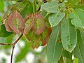 Silver Cluster-leaf (Terminalia sericea) (8389437455).jpg