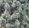 Silvertree leucadendron foliage - Cecilia forest - Cape Town 3.jpg