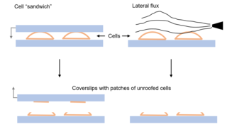 Cell unroofing Methods to isolate and expose cell membranes