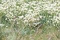 Slatinska gronica - polje.jpg