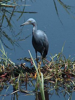 Slaty Egret by Neil Gray.jpg