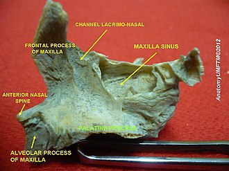 Palatine process of maxilla - Image: Slide 14hhhh