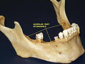 Alveolar part of mandible - Image: Slide 4BAU