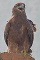 Small Indian kite.JPG