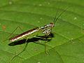 Small Mantis (Hapalopeza sp.) (15585748606).jpg