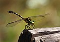 Small Pincertail (Onychogomphus forcipatus), Nera River Gorges, Banat Mountains, SW Romania (35412200715).jpg