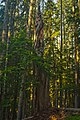 Snag on Gordon Lakes Trail, Oregon - panoramio.jpg