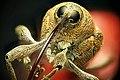 Snuitkever - Curculionoidea - Weevil.jpg