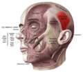 Sobo 1909 260 - Superior auricular muscle.png