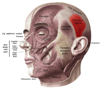 Superior auricular muscle - Face and neck muscles. Superior auricular muscle shown in red.