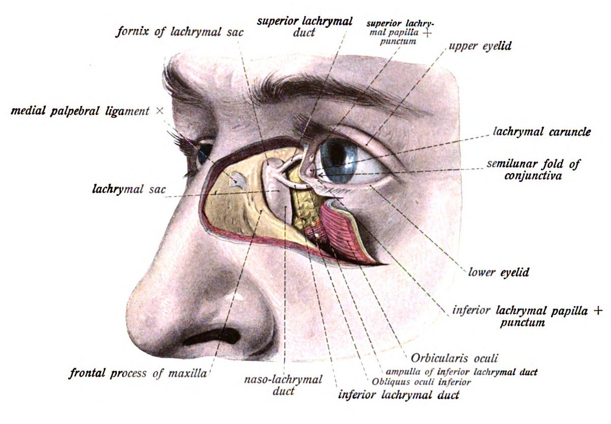 Lacrimal sac - Wikipedia