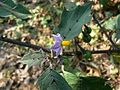 Solanum violaceum Ortega (1652833550).jpg