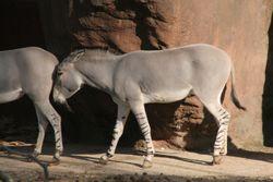 Equus africanus somaliensisAu Zoo de St Louis