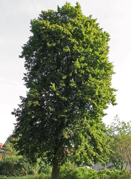 Fișier:Sommerlinde (Tilia platyphyllos).jpg