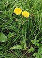 Sonchus arvensis20090912 302.jpg