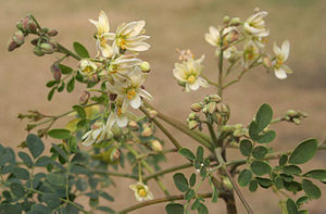 English: Sonjna Moringa oleifera in Kolkata, W...