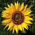 Sonnenblume Helianthus 1.JPG