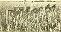 Sorghums - sure money crops (1914) (14593219948).jpg
