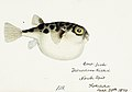 Southern Pacific fishes illustrations by F.E. Clarke 57.jpg