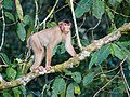 Southern Pig-tailed Macaque (14839993268).jpg