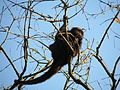 Southern brown howler monkey female sp zoo 4.JPG