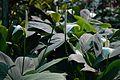 Spathiphyllum - Alipore - Kolkata 2013-02-10 4663.JPG