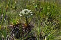 Species of Eriocaulaceae(2).jpg