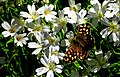 Speckled wood butterfly (IN EXPLORE) - Flickr - pete. ^hwcp.jpg