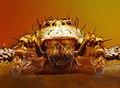 Spider - fusco marginatus (Portrait) (Set of pictures).jpg