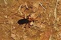 Spider wasp 9031.jpg