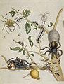 Spiders - Metamorphosis insectorum surinamensium (1705), 74 plate 18 - BL.jpg