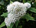 Spiraea albiflora2.jpg