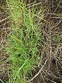 Sporobolus virginicus plant1 (8290045154).jpg