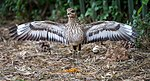 SpottedThick-knee2.jpg