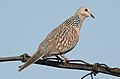 Spotted Dove Spilopelia chinensis by Dr. Raju Kasambe DSCN 2435 (1).jpg