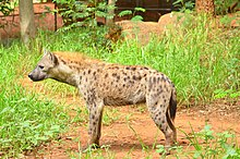 Spotted Hyena in Korat Zoo.jpg
