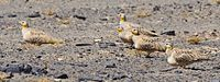 Spotted Sandgrouse (4803937997).jpg