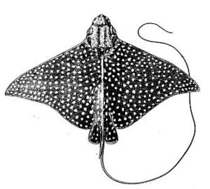 Hol Chan Marine Reserve - Spotted eagle rays are common in the Hol Chan Cut.