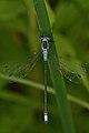 Spread-winged Damselfly (Lestidae) - Waterloo, Ontario.jpg