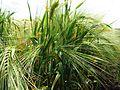 Spring barley in field 1.jpg