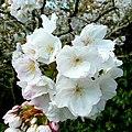 Springtime at Trevarno 4 - geograph.org.uk - 1240243.jpg