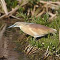 Squacco Heron, Ardeola ralloides at Marievale Nature Reserve, Gauteng, South Africa. (44482198164).jpg