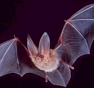 Introduction to evolution - A bat is a mammal and its forearm bones have been adapted for flight.