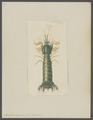 Squilla lessonii - - Print - Iconographia Zoologica - Special Collections University of Amsterdam - UBAINV0274 097 13 0012.tif