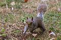 Squirrel (14735328549).jpg