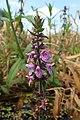 Stachys palustris kz04.jpg