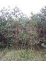Standortfremde Monokultur im Schwarzwald südöstlich von Hollabrunn sl19.jpg