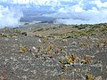 Starr-021024-0031-Pteridium aquilinum subsp decompositum-habit in shrubland-Kalahaku HNP-Maui (24185262339).jpg
