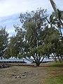 Starr-031209-0009-Casuarina equisetifolia-habit-Launiupoko Beach Park-Maui (24381307660).jpg