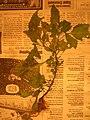 Starr-050427-0758-Solanum americanum-voucher 050406 6-Moku Mana north-Maui (24747345095).jpg